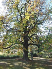 This photo, taken May 8, 2018, shows a horse chestnut tree  at the Christchurch Botanical Gardens in New Zealand.