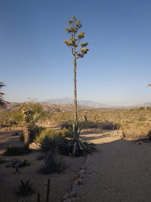 A Morongo Valley Agave salmiana in full mature bloom.
