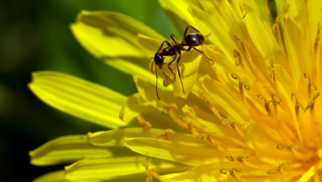 An ant crawls on a dandelion.