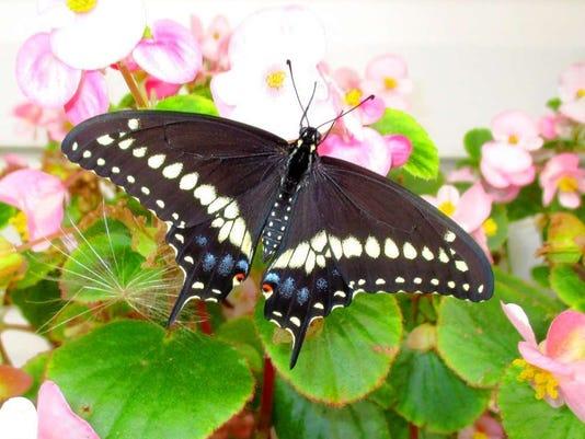032316-st-blackswallowtail-12983405.jpg
