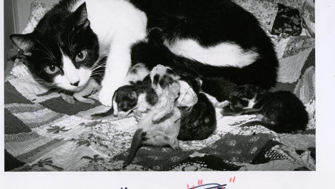 A cat had a litter of 16 kittens in June of 1991.