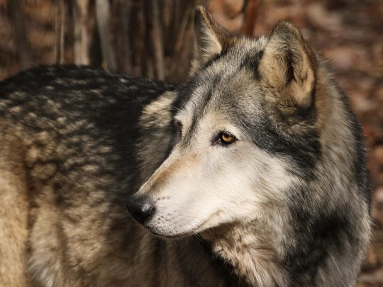 Hunter, the Wolf Mountain Nature Center's timber wolf,