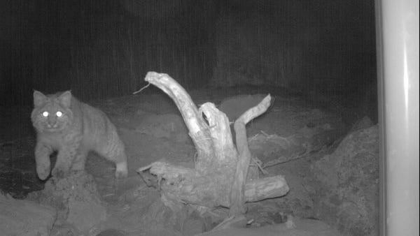 "A bobcat, like the one seen in this night-vision photo from 2014, was the culprit behind a West Salem ""cougar"" sighting in 2015. Both cougars and bobcats can be found in Oregon, and both can pose a threat to outdoor pets."
