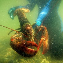 In a world first, Switzerland deems it illegal to boil a lobster