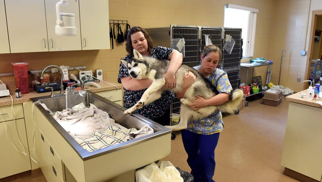 Surgery-recovery assistant Lori Tucker (left), of Port St. Lucie, and animal-care technician Kacie Valentin, of Port St. Lucie, carry Lokei, a 1-year-old male Alaskan husky mix, to his cage June 1, 2016, as he wakes up from anesthesia at the Humane Society of the Treasure Coast in Palm City.