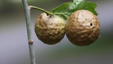 Oak apple galls are papery appendages on oaks that are caused by tiny, non-stinging wasps with a complicated lifecycle.