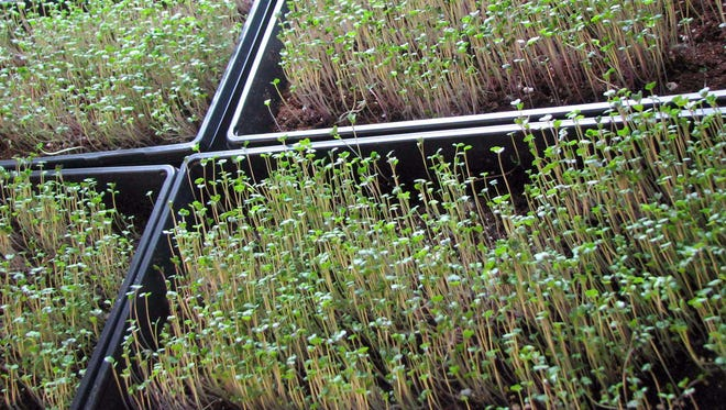 Microgreens can be grown from seed to harvest within a month.