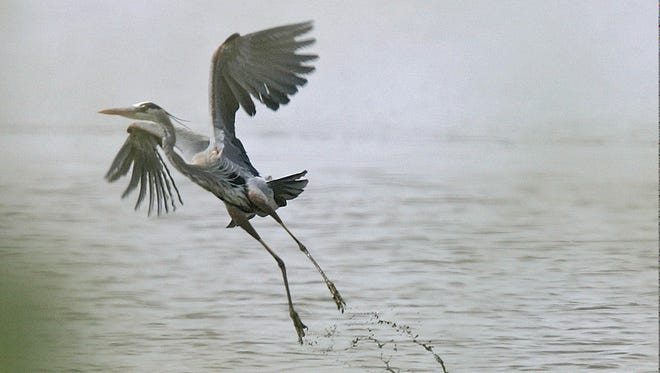 A great blue heron takes flight from Sonny Bono National Wildlife Refuge at the Salton Sea. The lake is considered a critical stopover along the Pacific Flyway for many migrating birds.