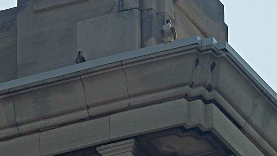 A juvenile falcon (left) and an adult were spotted
