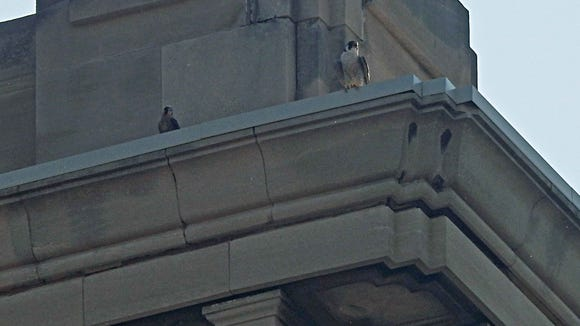 A juvenile falcon (left) and an adult were spotted Monday atop the Hilton Garden Inn at Market and Pennsylvania.