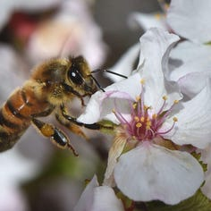 What's killing our bees? A four-pronged storm, but here's how you can help