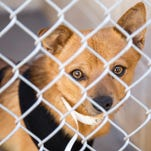 A dog stands in a kennel at the Maricopa County Animal Care and Control on 27th Avenue.