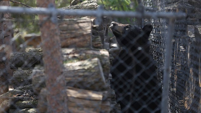 A black bear is hunkered down in the yard of a home in Midland, Mich., Monday, April 30, 2018. The Midland Police Department said Monday morning it was monitoring the area and anyone who spotted the bear shouldn't approach it.