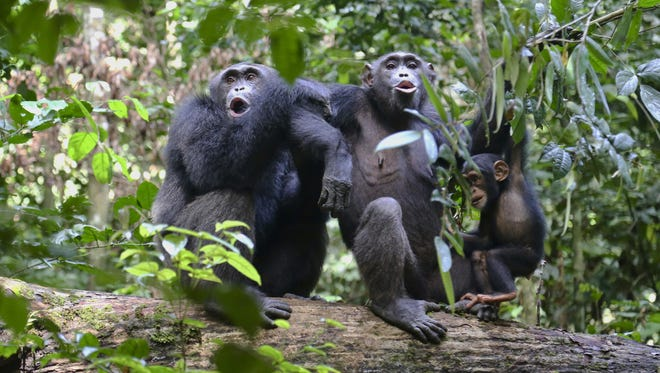 Chimpanzees in the Taï National Park in the Ivory Coast vocalize with another group nearby.