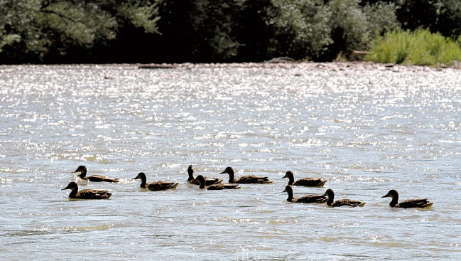 Ducks swim upstream in the Animas River at Berg Park in Farmington, N.M., Aug. 14, 2015.