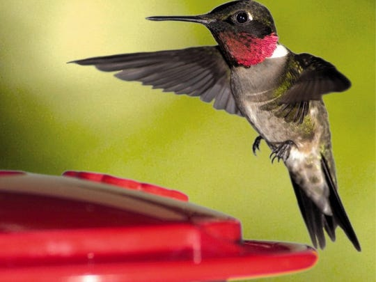 "AP Photo/Wild Birds Unlimited Ijams Nature Center and the Knoxville Chapter of the Tennessee Ornithological Society will host the sixth annual ""Wonder of Hummingbirds Festival"" from 8 a.m.-2 p.m. Saturday. Visitors have the opportunity to see ruby-throated hummingbirds up-close at a banding demonstration by Mark Armstrong, a certified Master Bander. The event also features speakers on nature topics, wildlife educational demonstrations, guided walks, and vendor marketplace with food and drinks, plants, locally made arts and crafts, bird feeders and supplies as well as garden items. For more info or to register, call Ijams at 865-577-4717, Ext. 110."