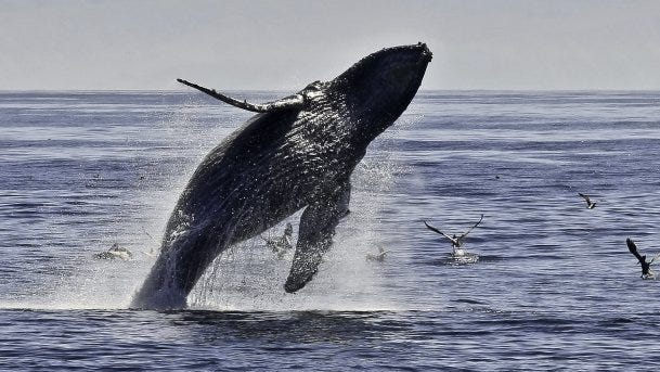 A humpback whale in the Santa Barbara Channel just off the Ventura County mainland. Contributed Photo/Tim Hauf