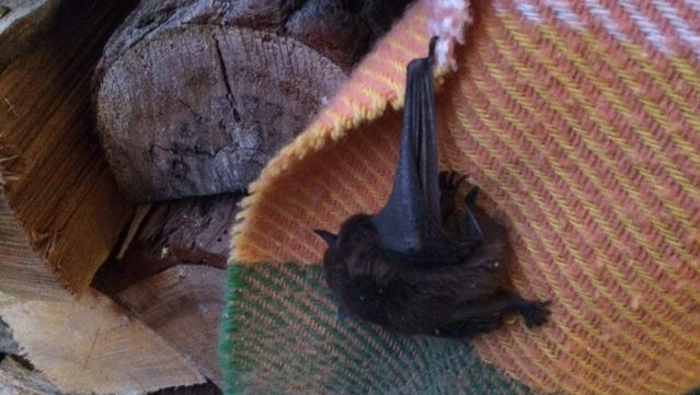 This small bat unfortunately found a wood stove for hibernation.