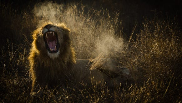 A lazy lion, full from eating a buffalo kill yawns