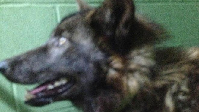 Pictured is the domesticated wolf that led to a public safety alert by the Baxter County Sheriff's Office.