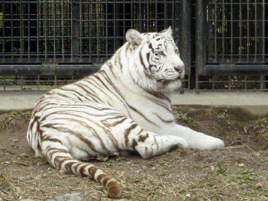Japan Tiger Attack