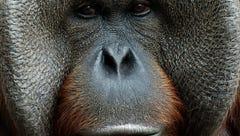 Pumpkin, 2 other orangutans leaving Jackson Zoo