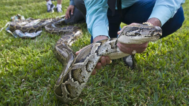 A demonstration on how to handle a Burmese Python during training for the Python Challenge at University of Florida Research and Education Center in Davie, Florida, January 12, 2012.