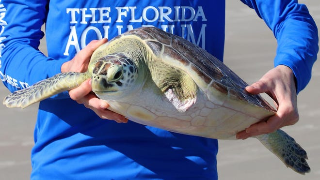 Endor, a green sea turtle whose left flipper was amputated, was released back into the Atlantic Ocean at Toronita Avenue Beach Park in Wilbur-by-the-Sea Tuesday, Jan. 7, 2020 .