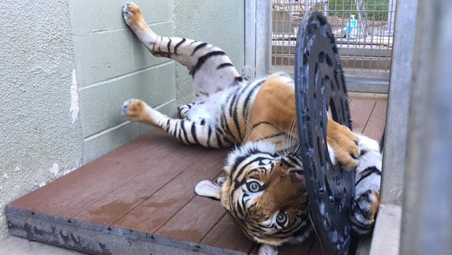 The female tiger Arya arrived Thursday, Jan. 26, 2017, at Zoo Knoxville. Seen here at her previous home at the Fresno (Calif.) Chaffee Zoo, the 3-year-old tiger is one of 64 endangered Malayan tigers in zoos. She's a potential mate for the zoo's two male tigers.