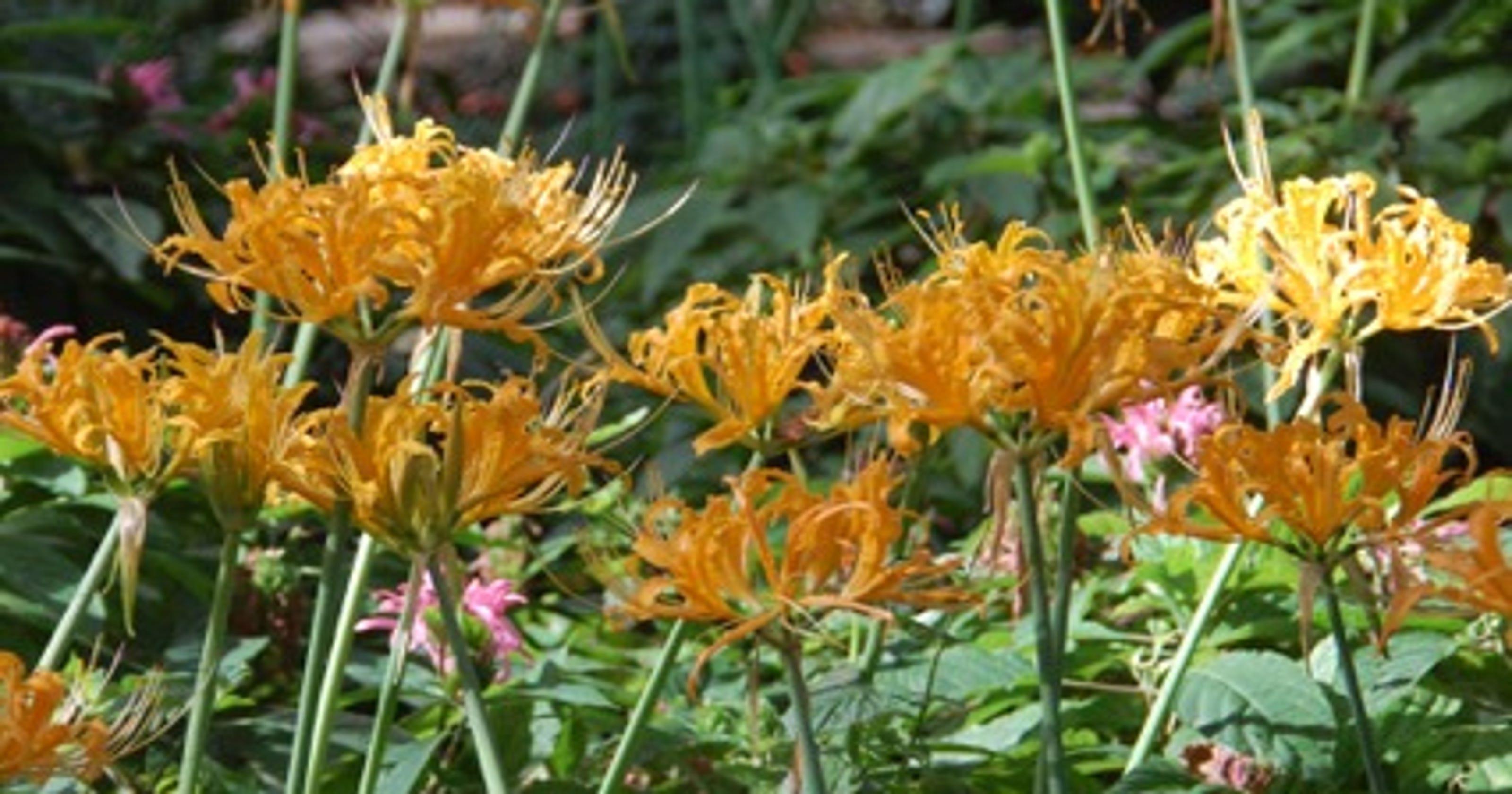 Hurricane lilies are magic in the fall garden izmirmasajfo