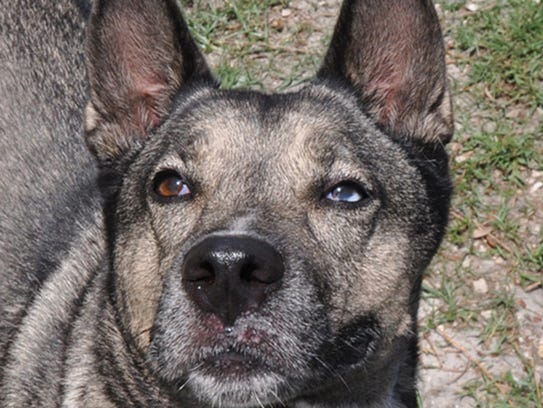 akita senior singles A regal and elegant dog, the akita is a pleasure to look at,  families with older children, active singles and seniors, houses with yards temperament: bold,.