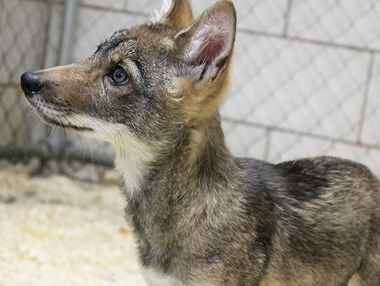 Magnus is the Binghamton Zoo at Ross Park's newest