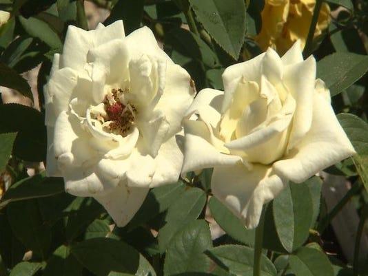 635780239011523390-roses