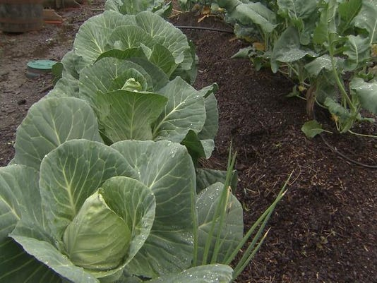 635877608639721240-Cabbage-in-winter-garden.jpg