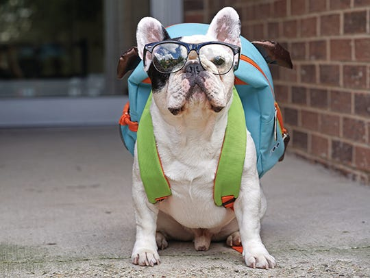 Manny the Frenchie is a rescue dog who has over 1.7