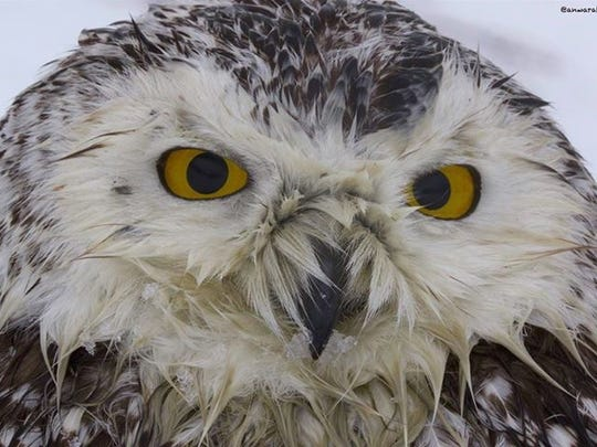 A wildlife photographer from Elmsford rescued a dying snowy owl.