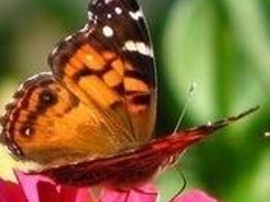 Monarch butterflies abound in Linda and Oz Forrester's