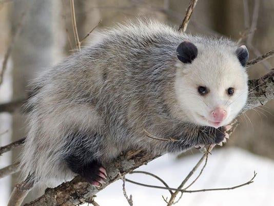 possum drop 2