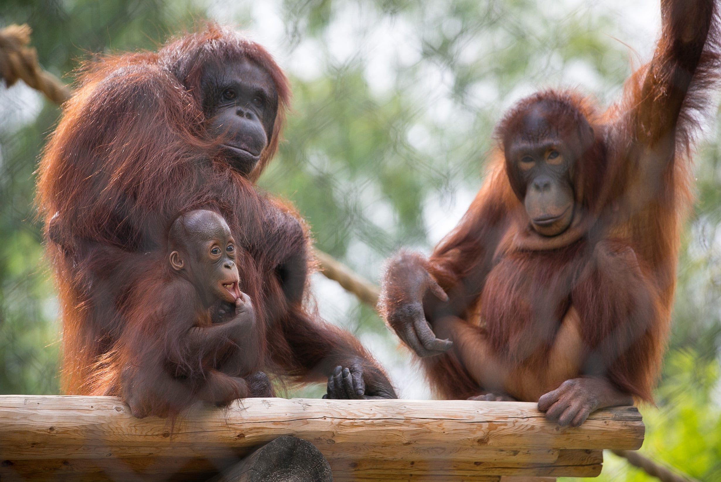 Baby orangutan gets Phoenix Zoo birthday party
