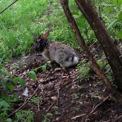 This photo taken in May 2013 shows a rabbit with many