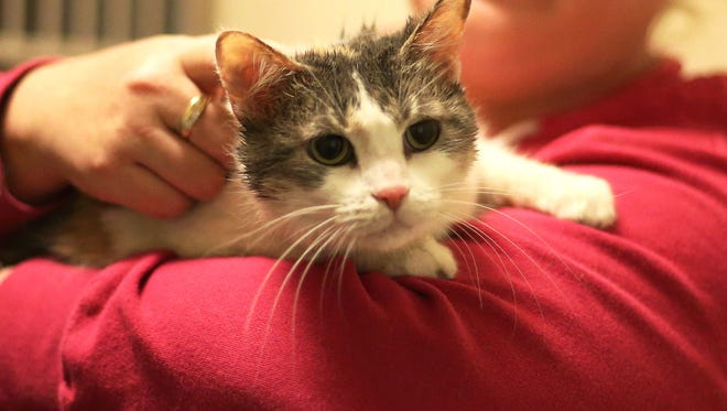 Winnie, a female cat estimated to be about 2 years old, is recovering at the Humane Society of North Iowa after being rescued from a duffel bag in the Winnebago River in Mason City after a husband and wife watched a man toss the bag over a bridge.