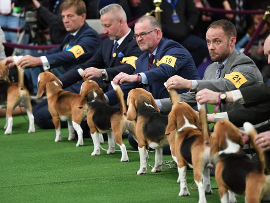 Beagles lineup in the judging area during Day One of competition at the Westminster Kennel Club 142nd Annual Dog Show in New York on February 12, 2018.