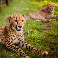 Donni the cheetah's new housemates