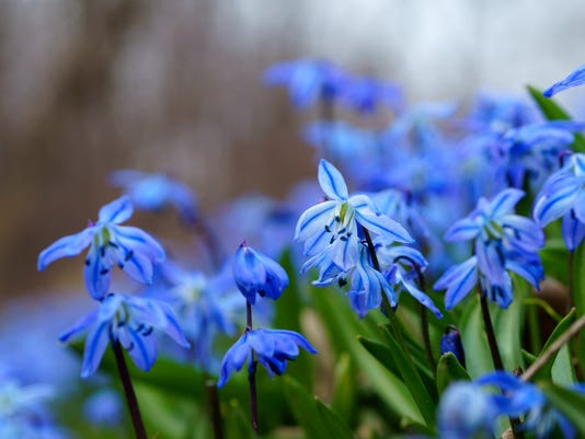 Ask A Gardener Think About Spring Flowering Bulbs