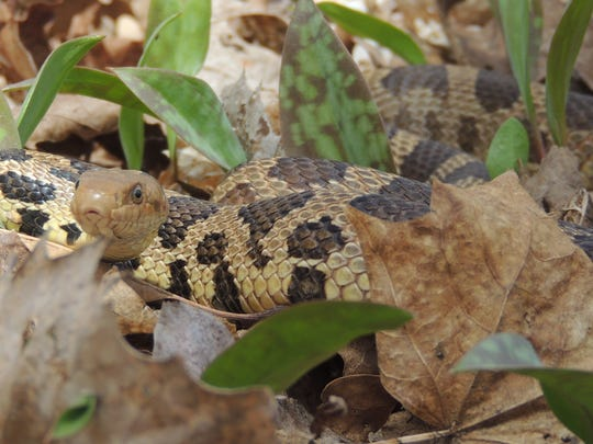 The largest snake species commonly spotted in east-central-Wisconsin, the fox snake can be identified by the rusty orange head and brown pattern over a yellowish body.