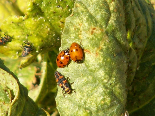 lady bugs with larvae_photo by Wendy Hanson Mazet (2)
