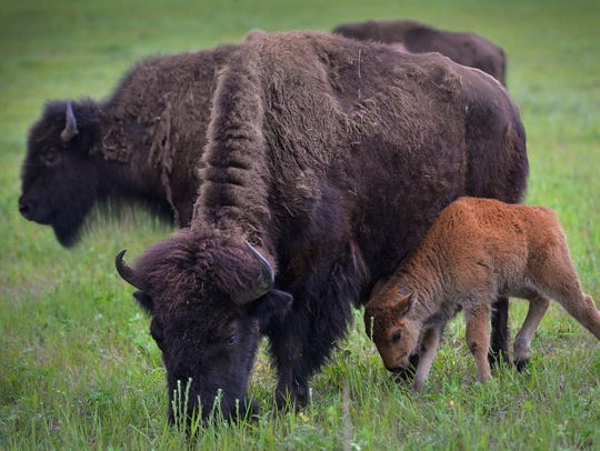 A bison cow and calf graze together on Tom Barthel