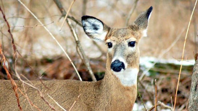 Deer will become more active in the fall. Motorists on Pennsylvania roads have a one-in-67 chance of hitting one during the year.