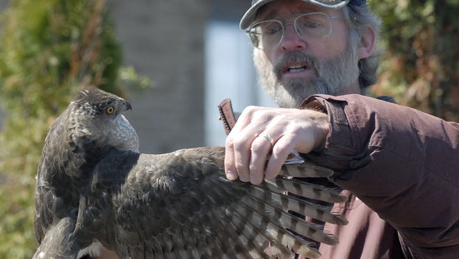 Braddock Bay Raptor Research bander Tom McDonald shows off the feathers of a hawk at Bird of Prey Days at Braddock Bay Park. This year's event runs from April 22-24.