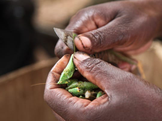 "In this photo taken Friday, Nov. 25, 2016, edible grasshoppers are cleaned with a knife at a stall in the Kamwokya district of the capital Kampala, in Uganda. Grasshoppers, known in the local Luganda language as ""nsenene,"" are a delicacy among millions in this East African during the rainy season. Fried grasshoppers have become a lucrative trade and businesses around the nation are making the most of the demand for the crunchy critters."